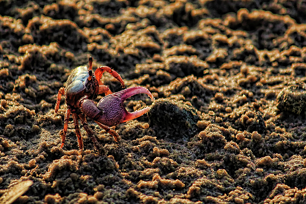 HH Photography of Florida - Little Fiddler Crab