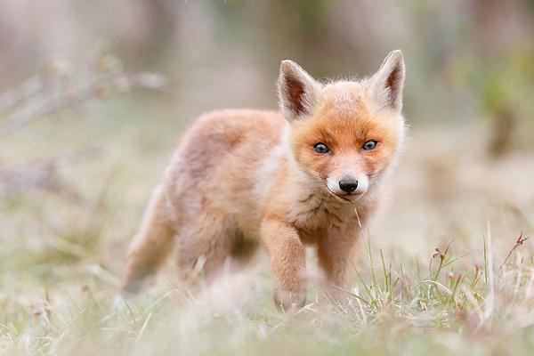 Roeselien Raimond - Little Fox Kit, Big World