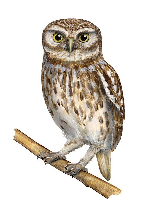 Little Owl Or Minervas Owl Athene Noctua - Goddess Of Wisdom- Chouette Cheveche- Nationalpark Eifel Painting
