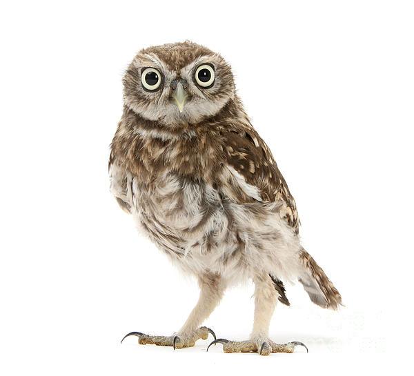 Warren Photographic - Little Owl