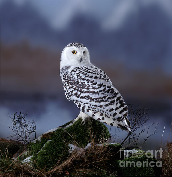 Warren Photographic - Lone Snowy Owl