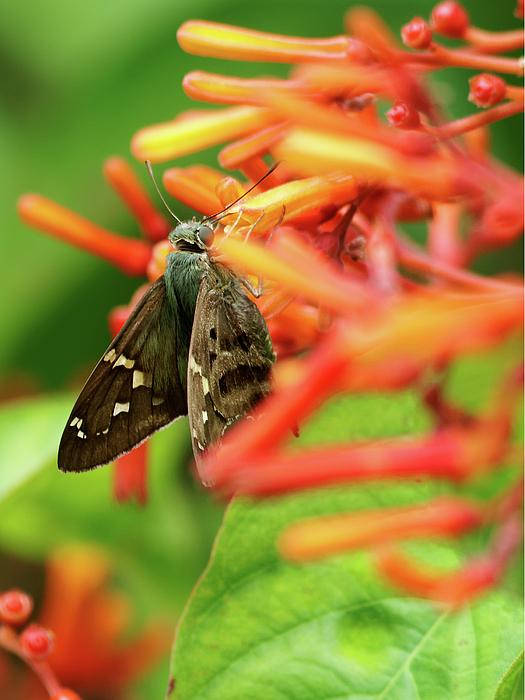 Jill Nightingale - Long-tailed Skipper on Firebush Flower