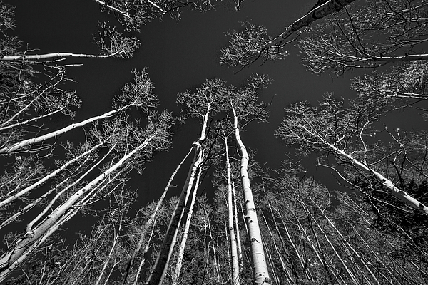 Stuart Litoff - Looking Up at the Aspens