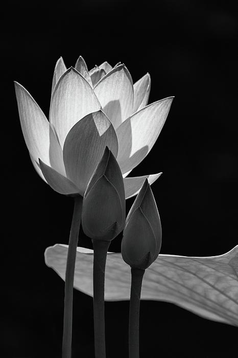 Dawn Currie - Lotus Aglow