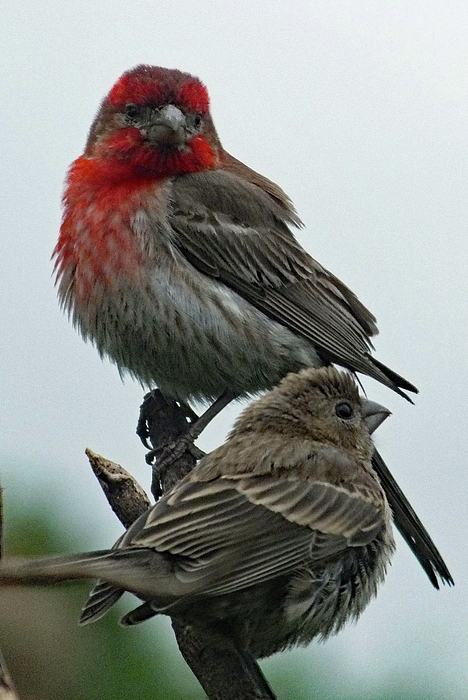Cindy Treger - Lovely Pair - House Finches