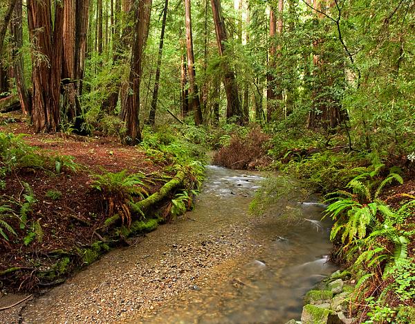 Matt Tilghman - Lush Redwood Forest