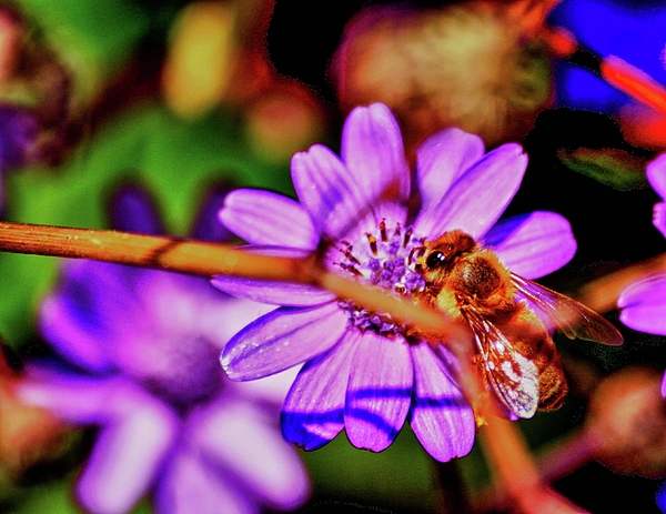 Chris Berry - mac  306 - Bee on a branch HDR
