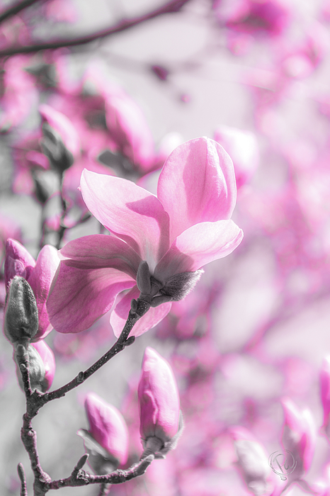 Pamela Williams - Magnoia Bloom II BWP