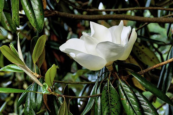 John Trommer - Magnolia 4