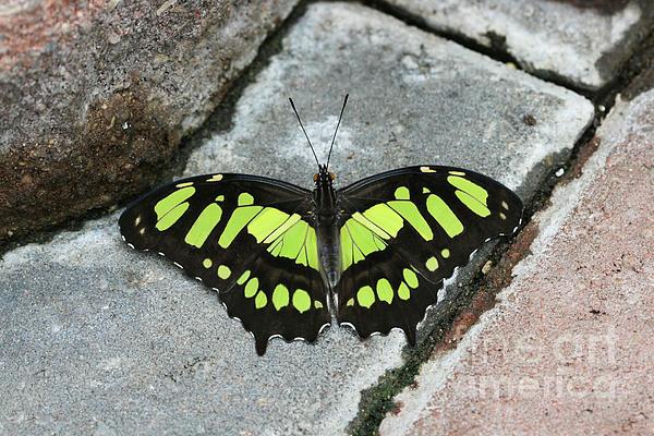 Judy Whitton - Malachite Butterfly #2