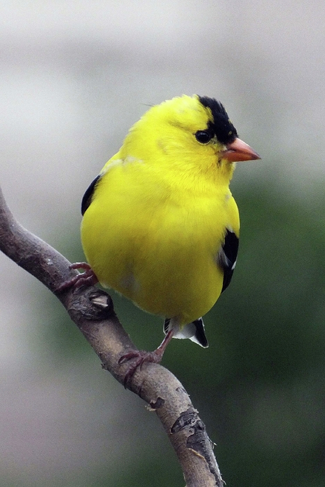 Cindy Treger - Male American Goldfinch