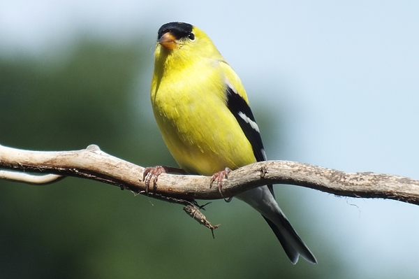 Cindy Treger - Male American Goldfinch E