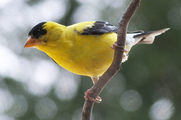 Cindy Treger - Male American Goldfinch G