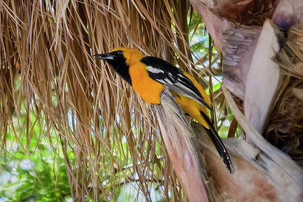 Male Hooded Oriole H17 Photograph
