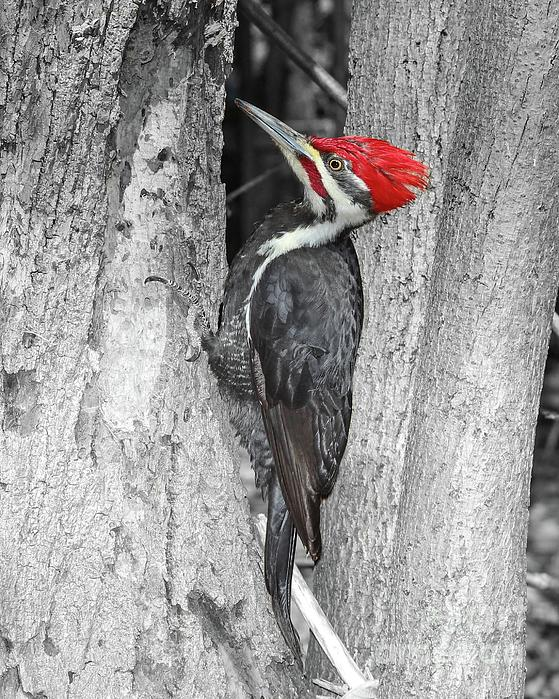 Marlin and Laura Hum - Male Pileated Woodpecker Selective Coloring