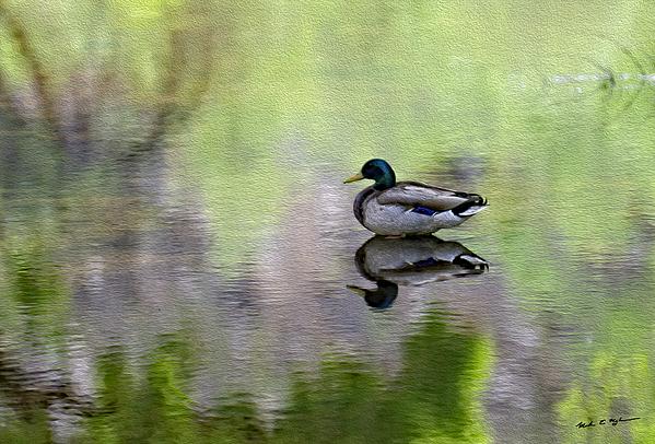 Mallard In Mountain Water Photograph