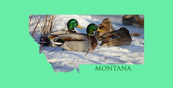 Mallard Montana Photograph