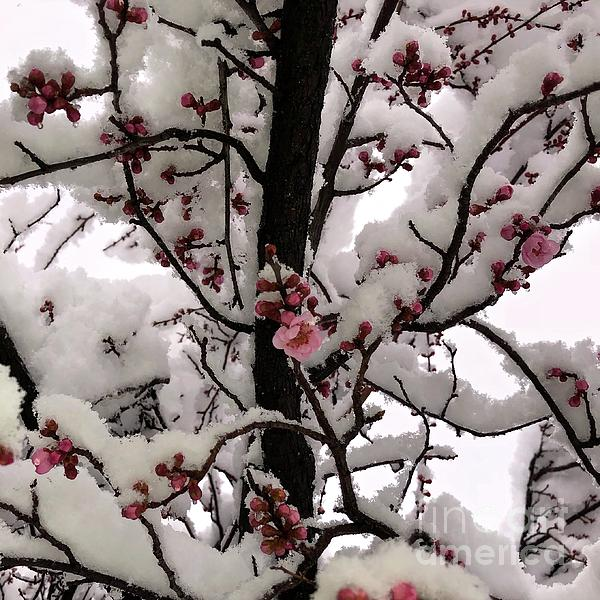 Phyllis Kaltenbach - March Blossoms in Snow