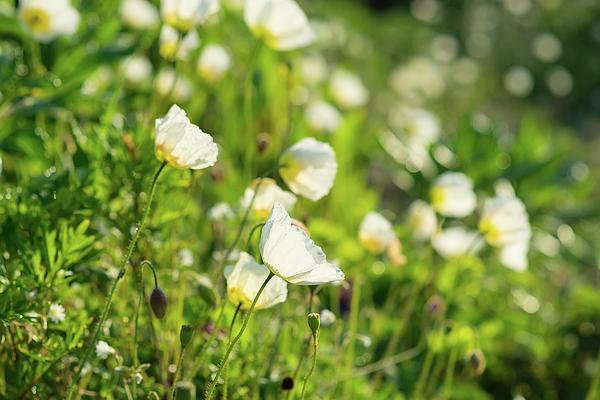 Mariia Kalinichenko - Marvelous white poppies on the slope