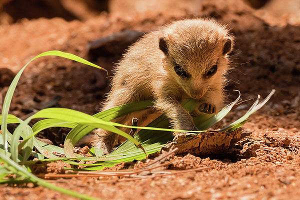 Dawn Currie - Meerkat Pup Learning to Forage