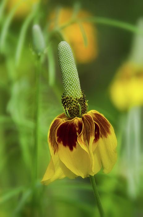 Saija Lehtonen - Mexican Hat Flower