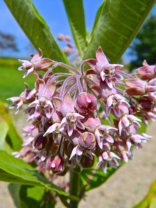 Randy Rosenberger - Milkweed Beauty