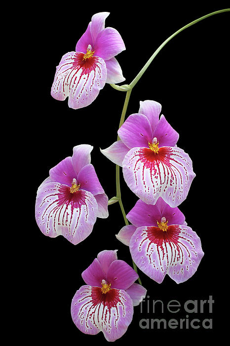 Judy Whitton - Miltoniopsis Pretty In Pink Orchids