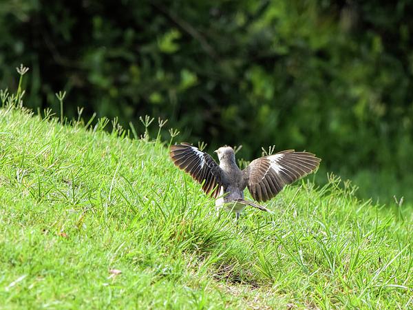 William Tasker - Mockingbird Strut