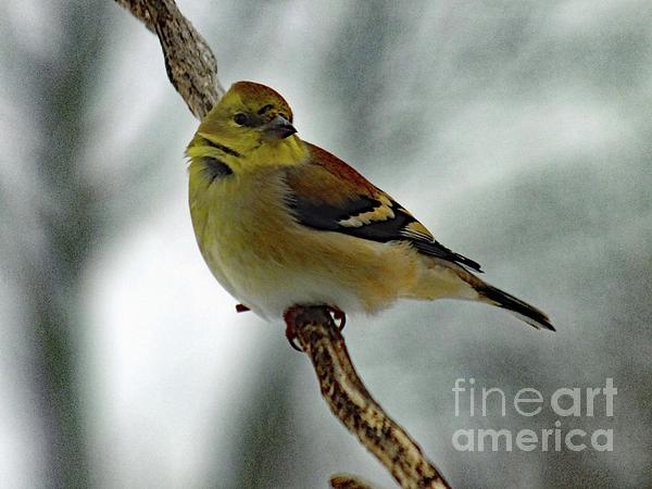 Cindy Treger - Molting in January? - American Goldfinch