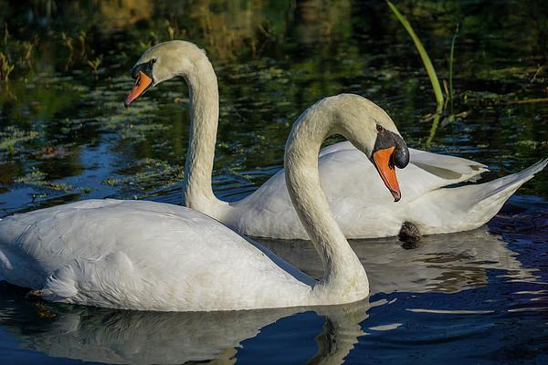 Linda Howes - Mom and Papa Swan