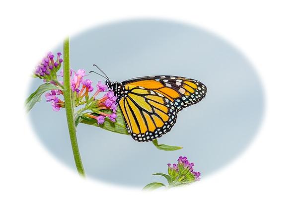 Marv Vandehey - Monarch Butterfly Vignette