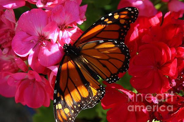 Dora Sofia Caputo Photographic Design and Fine Art - Monarch on Summer Geraniums