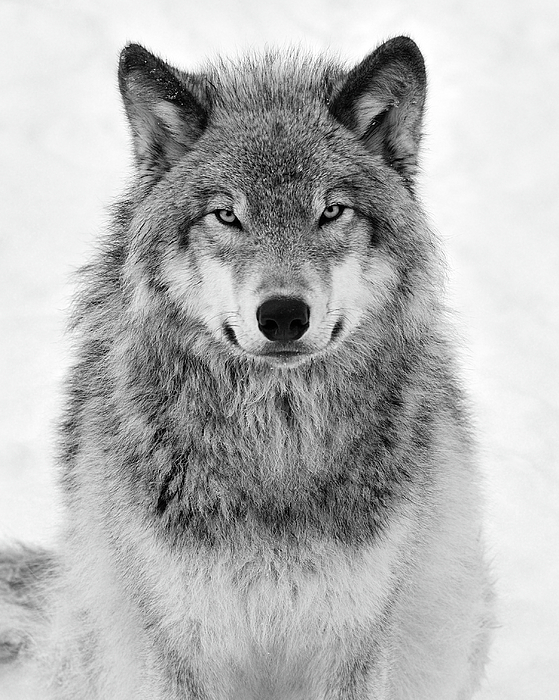 Tony Beck - Monotone Timber Wolf