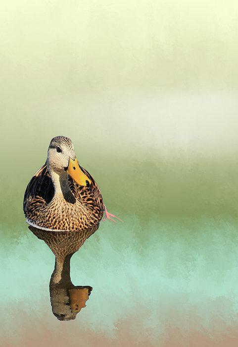 Rosalie Scanlon - Mottled Duck Reflection