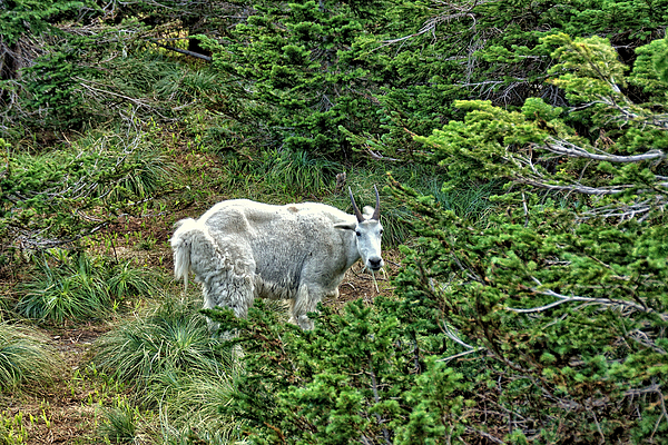 John Trommer - Mountain Goat 2