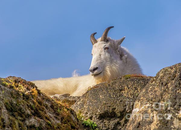 Marv Vandehey - Mountain Goat on Rock