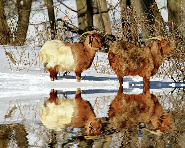 Geraldine Scull - Mountain goat reflections