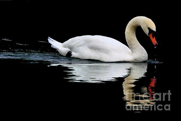 Baggieoldboy - Mute Swan