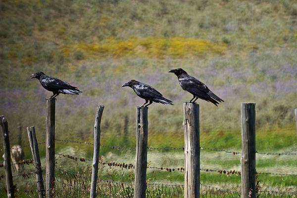 Neighborhood Watch Crows Photograph