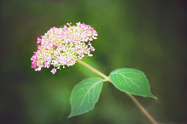 Sharon McConnell - New Hydrangea Bloom