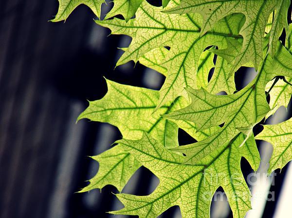 Sarah Loft - New Oak Leaves
