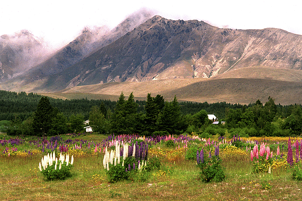Jerry Griffin - New Zealand Lupines