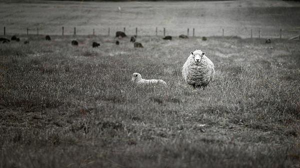 Joan Carroll - New Zealand Sheep BW
