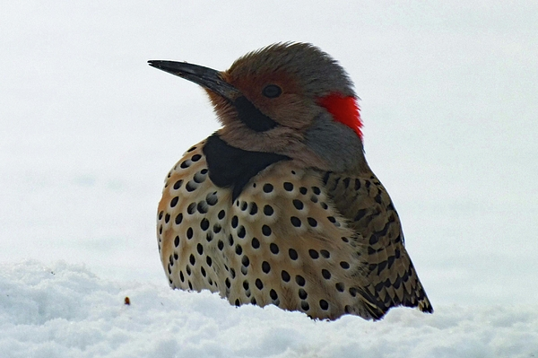 Cindy Treger - Northern Flicker in Snow