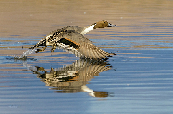 Judi Dressler - Northern Pintail with reflection