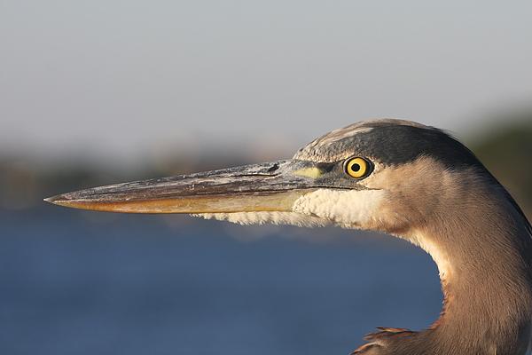 Christiane Schulze Art And Photography - Observant Eye - Heron Portrait