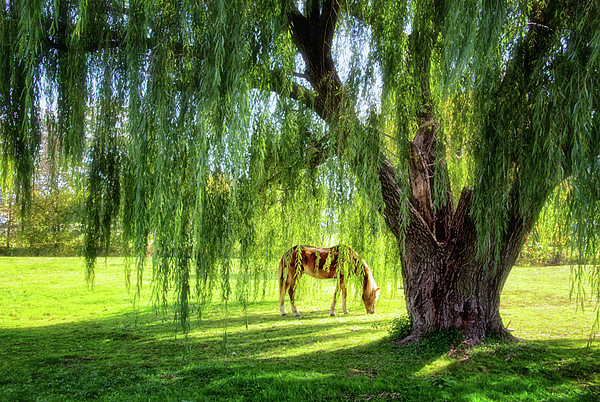 Carolyn Derstine - Old Willow Tree in the Meadow