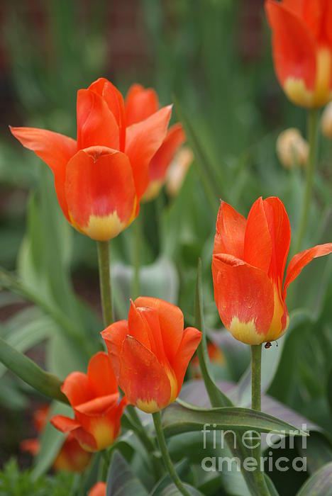 Rob Luzier - Orange and yellow fire tulips   #