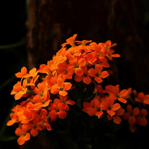 Judy Vincent - Orange Flowers Square