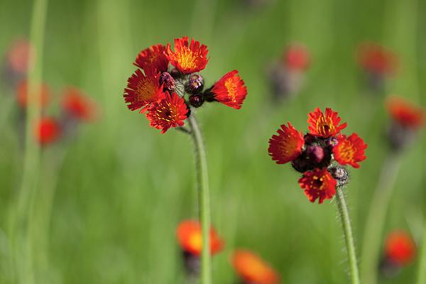Susan Schmidt - Orange Hawkweed Flowers